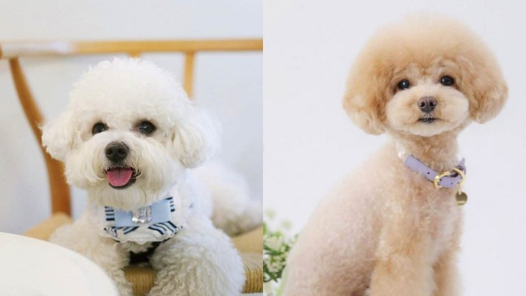 potty-training-puppy-on-pads-poodle-dogs