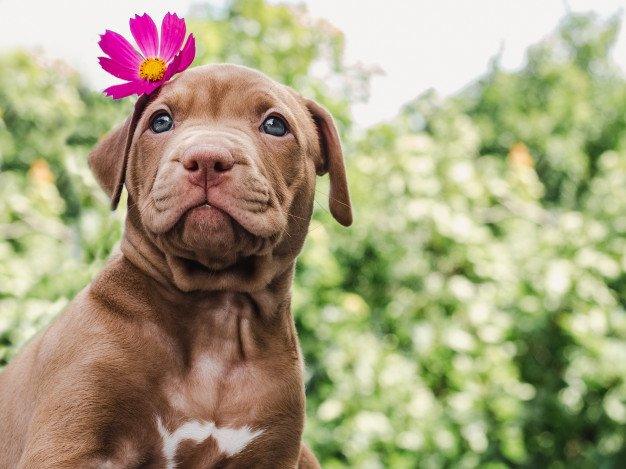 train-a-pit-bull-puppy