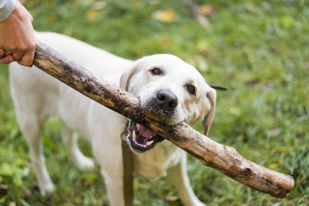 cute-labrador-playing-dog-commands
