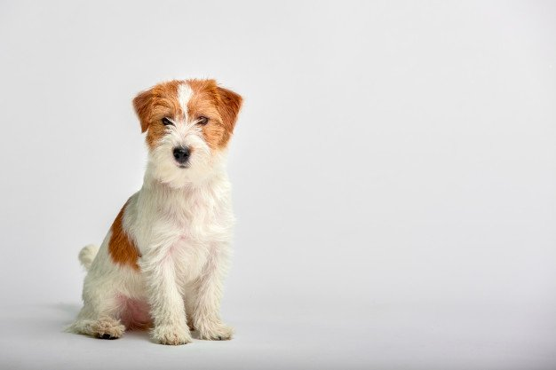 jack-russell-terrier-puppy-training-myths