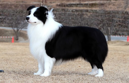 Border Collie Most Trainable Dog Breeds