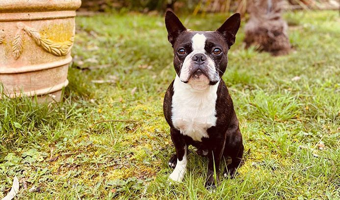 boston-terrier-trainable-short-haired-dogs