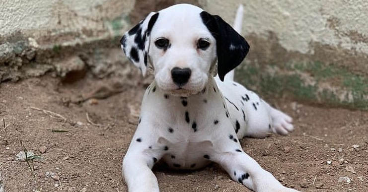 dalmatian-dog-trainable-short-haired-dogs