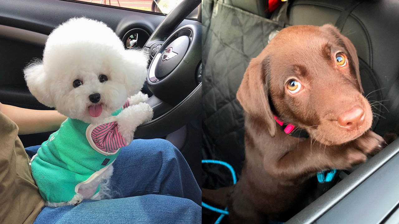 dog anxiety in car rides