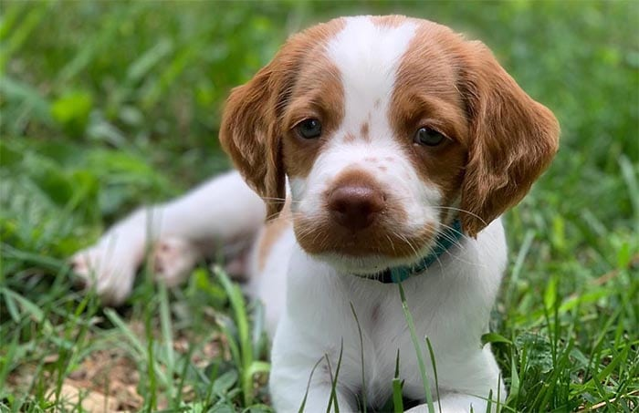 brittany-dogs-most-loyal-dog-breeds