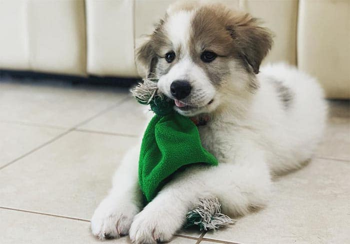 great-pyrenees-most-loyal-dog-breeds