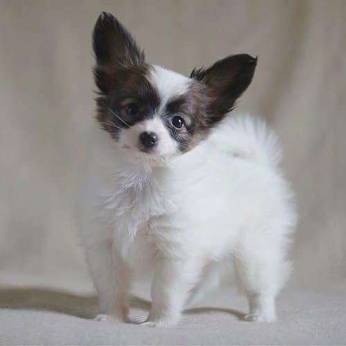most-obedient-dogs-papillon
