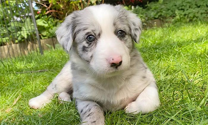 rough-collie-most-loyal-dog-breeds